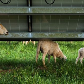 Solar panels increase grasses for sheep and cows by 90%